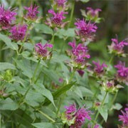 'Scorpion' is an upright, clump-forming perennial with aromatic, lance-shaped, mid-green leaves, purple stems and, from midsummer to early autumn, whorls of lipped, red-purple flowers surrounded by purple bracts. Monarda 'Scorpion' added by Shoot)
