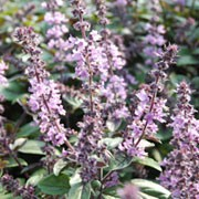 'Magic Mountain' is a tender, short-lived perennial often grown as an annual with elliptic, purple-flushed, dark green leaves and spikes of whorled, tubular, purple flowers in late summer and autumn. Ocimum basilicum 'Magic Mountain' added by Shoot)