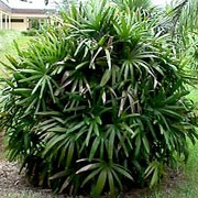 Rhapis excelsa added by Shoot)