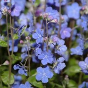 Omphalodes cappadocica 'Cherry Ingram'  (18/02/2017) Omphalodes cappadocica 'Cherry Ingram' added by Shoot)