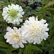 Scabiosa columbaria subsp. ochroleuca added by Shoot)