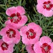 'Betty Morton' is a compact, mound-forming, evergreen perennial with linear, grey-green leaves and fragrant, single, pink flowers with red centres in summer. Dianthus 'Betty Morton'  added by Shoot)