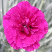'Devon Wizard' is a spreading, mound-forming, evergreen perennial with linear, grey-green leaves and, in summer, long stems bearing fragrant, double, fringed, red-purple flowers with dark red at the base of each petal. Dianthus 'Devon Wizard'  added by Shoot)