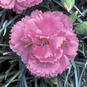 'Devon Glow' is a bushy, mound-forming, evergreen perennial with linear, grey-green leaves and, in summer, long stems bearing fragrant, double, pink to mauve flowers with fringed petals.  Dianthus 'Devon Glow'  added by Shoot)