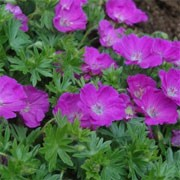 'Max Frei' is a compact, mound-forming herbaceous perennial.  It has dark-green deeply lobed leaves and magenta flowers from late spring to late summer. Geranium sanguineum 'Max Frei' added by Shoot)