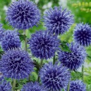 Echinops bannaticus 'Blue Globe' (27/09/2016) Echinops bannaticus 'Blue Globe' added by Shoot)