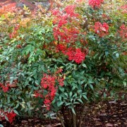 (17/05/2018) Nandina domestica added by Shoot)