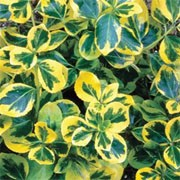 'Gold Splash' is a low, spreading perennial herb with small, ovate, bright green leaves splashed with yellow and loose panicles of small, tubular, white to pink flowers in summer. Origanum 'Gold Splash' added by Shoot)