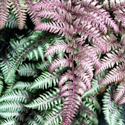 'Burgundy Lace' is a rhizomatous, deciduous fern with finely-divided, pinnate, lance-shaped fronds in shades of burgundy, purple, pink and silver. Athyrium niponicum var. pictum 'Burgundy Lace' added by Shoot)
