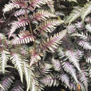 'Pewter Lace' is a rhizomatous, deciduous fern with finely-divided, pinnate, lance-shaped fronds in shades of burgundy, purple, silver and blue-green.