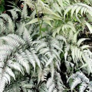 'Silver Falls' is a rhizomatous, deciduous fern with finely-divided, pinnate, lance-shaped fronds in shades of burgundy, silver and grey-green.