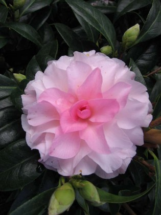 Camellia x williamsii 'Buttons 'n' Bows'