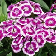 'Barbarini Purple Picotee' is a compact, bushy, upright, short-lived perennial, often grown as an annual or biennial, with lance-shaped, mid-green leaves and bicoloured, purple flowers with white edges blooming in late spring and throughout summer.