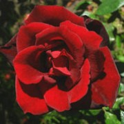 'Barkarole' is an vigorous, upright, thorny, deciduous shrub with ovate, glossy, dark green leaves, red when young, and fragant, semi-double, dark red flowers from late spring until autumn. Rosa 'Barkarole' added by Shoot)