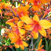 'Bright Eyes' is a clump-forming, cormous perennial with upright, lance-shaped, dark green leaves and, from midsummer to mid-autumn, arching stems bearing racemes of funnel-shaped, yellow-orange flowers with red throats.  Crocosmia 'Bright Eyes' added by Shoot)