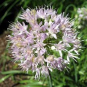 Allium senescens ssp. glaucum added by Shoot)