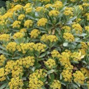 Bupleurum fruticosum added by Shoot)