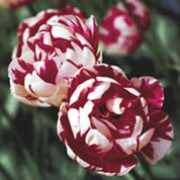 'Carnaval de Nice' is a bulbous perennial with broad, linear, grey-green and white-variegated leaves and, in late spring, double, bowl-shaped, white flowers with red flames and markings. Tulipa 'Carnaval de Nice'  added by Shoot)