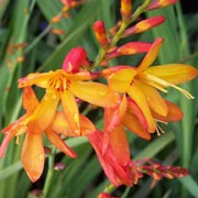 'Elegans' is a vigorous, clump-forming, cormous perennial with upright, lance-shaped, mid-green leaves and, from late summer to mid-autumn, arching stems bearing racemes of funnel-shaped, yellow flowers internally and red-flushed on the exterior side of the petals. Crocosmia × crocosmiiflora 'Elegans' added by Shoot)