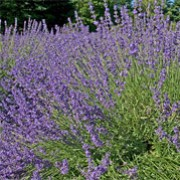 'Royal Purple' is a bushy, compact evergreen shrub with narrow, grey-green leaves. In summer it bears spikes of fragrant, deep purple flowers. Good plant for drying. Lavandula angustifolia 'Royal Purple' added by Shoot)