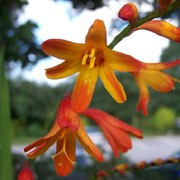 'Kathleen' is a clump-forming, cormous perennial with upright, lance-shaped, dark green leaves and, from midsummer to mid-autumn, purple-flushed, arching, branching stems bearing red buds opening to racemes of funnel-shaped, orange, red and yellow flowers. Crocosmia 'Kathleen' added by Shoot)