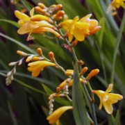 'Loweswater' is a clump-forming, cormous perennial with upright, lance-shaped, dark green leaves and, from midsummer to mid-autumn, arching, branching stems bearing racemes of funnel-shaped, yellow flowers. Crocosmia x crocosmiiflora 'Loweswater' added by Shoot)