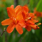 'Okavango' is a clump-forming, cormous perennial with upright, lance-shaped, mid-green leaves and, from midsummer to mid-autumn, dark purple, arching, branched stems bearing racemes of funnel-shaped, bright orange to peach flowers with rounded petals. Crocosmia 'Okavango' added by Shoot)