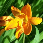 'Orange Spirit' is a vigorous, clump-forming, cormous perennial with upright, lance-shaped, mid-green, pleated leaves and, from midsummer to mid-autumn, arching, branched stems bearing racemes of pale orange to yellow-orange flowers. Crocosmia 'Orange Spirit' added by Shoot)