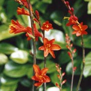 'Red King' is a compact, clump-forming, cormous perennial with upright, lance-shaped, narrow, mid-green leaves and, from midsummer to mid-autumn, dark, arching, branched stems bearing racemes of funnel-shaped, red flowers with yellow-orange centres. Crocosmia x crocosmiiflora 'Red King' added by Shoot)