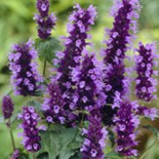 'Black Adder' is a tender, bushy, clump-forming perennial with veined, glossy, lance-shaped, mid- to dark green, aromatic leaves and dense spikes of violet-blue and dark purple flowers from midsummer into autumn. Agastache 'Black Adder' added by Shoot)