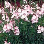 'Rosaly' is an clump-forming, erect perennial with rounded, dark green basal leaves and deeply-lobed stem leaves. Dense, upright racemes of funnel-shaped, pale pink flowers bloom in summer. Sidalcea 'Rosaly' added by Shoot)