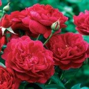 'Darcey Bussell' is a compact, bushy, thorny, deciduous shrub with ovate, dark green leaves and fragrant, double, deep red flowers in summer and autumn. Rosa 'Darcey Bussell' added by Shoot)