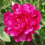 'Victoire de la Marne' is a clump-forming, herbaceous perennial with erect stems bearing divided, mid-green leaves and large, solitary. fragrant, double, magenta flowers in summer. Paeonia lactiflora 'Victoire de la Marne' added by Shoot)