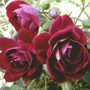 'Burgundy Ice' is a compact, bushy, upright to rounded, deciduous shrub with thorny stems, small, toothed, ovate, light to mid-green leaves and fragrant, double burgundy to deep plum flowers from late spring into autumn. Rosa 'Burgundy Ice' added by Shoot)