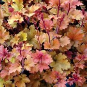 'Marmalade' is a clump-forming, semi-evergreen to evergreen perennial with red stems bearing rounded, lobed, ruffled leaves that emerge copper-red or pink and turn bronze or golden-yellow with maturity. Slender, upright stems bear panicles of small, bell-shaped, red-brown flowers in summer. Heuchera 'Marmalade' added by Shoot)