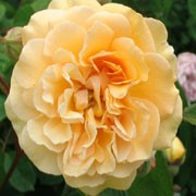 'Absolutely Fabulous' is an upright, bushy, deciduous shrub with thorny stems, ovate, glossy, mid-green leaves and fragrant, double, yellow flowers from late spring into autumn. Rosa 'Absolutely Fabulous' added by Shoot)