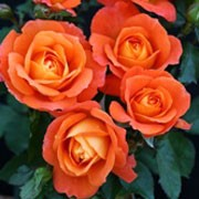 'Super Trouper'  is an upright, bushy, deciduous shrub with thorny stems, ovate, glossy, mid-green leaves and, from late spring into autumn, lightly fragrant, double flowers in shades of orange. Rosa 'Super Trouper' added by Shoot)