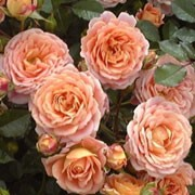 'Absent Friends' is an upright, bushy, deciduous shrub with thorny stems, ovate, glossy, dark green leaves and fragrant, double, apricot-flushed, pink flowers from late spring into autumn. Rosa 'Absent Friends' added by Shoot)