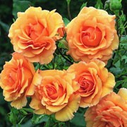'Anne Harkness' is an upright, bushy, deciduous shrub with thorny stems, ovate, glossy, dark green leaves and lightly fragrant, double, apricot to orange flowers from late spring into autumn. Rosa 'Anne Harkness' added by Shoot)