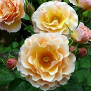 'Rebecca Mary' is a compact, vigorous, bushy, deciduous shrub with, thorny stems, ovate, glossy, light to mid-green leaves and lightly fragrant, double, apricot to yellow flowers from late spring into autumn. Rosa 'Rebecca Mary' added by Shoot)