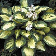 'Great Expectations' is a clump-forming, deciduous perennial with green and white leaf stalks bearing stiff, puckered, thick, heart-shaped, blue-green leaves with irregularly-margined, yellow centres that fade to white. Bell-shaped, grey-white flowers are borne on leafy scapes in early summer Hosta 'Great Expectations' added by Shoot)