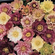 Helleborus x hybridus Washfield double-flowered
