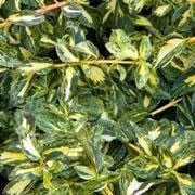 'Golden Harlequin' is a compact, bushy to spreading, evergreen shrub with yellow and green mottled leaves and, occasionally, small, inconspicuous, green flowers in summer. Euonymus fortunei 'Golden Harlequin' added by Shoot)