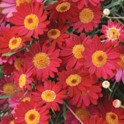 'Madeira Red' is a tender, upright to rounded, branching, evergreen subshrub, often grown as an annual, with finely dissected, aromatic, blue-green leaves and, in summer, single, red or deep pink flowers with yellow centres. Argyranthemum 'Madeira Red' added by Shoot)