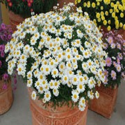 'Madeira White' is a tender, upright to rounded, branching, evergreen subshrub, often grown as an annual, with finely dissected, aromatic, blue-green leaves and, in summer, single, white flowers with yellow centres. Argyranthemum 'Madeira White' added by Shoot)
