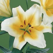 'Conca D'or' is a vigorous, bulbous perennial with erect stems bearing linear, spirally-arranged, dark green leaves and, in summer, large, fragrant, yellow flowers with pale yellow to white edges.  Lilium 'Conca D'or' added by Shoot)