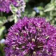 Allium purple sensation Added by Selina Botham