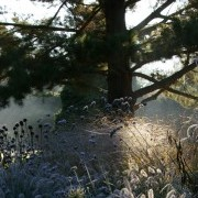 Pennisetum Hameln on a frosty winters morning (27/10/2010) Added by Knoll Gardens