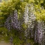 wisteria over front door (27/03/2011) Added by Mary, Myrtle Cottage, S.Oxon