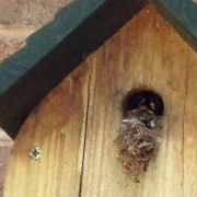 Tree bees nesting for the 2nd year in bird box Added by Wendy